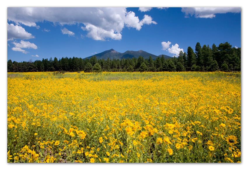 Sunflower field and San Francisco Peaks Flagstaff Arizona