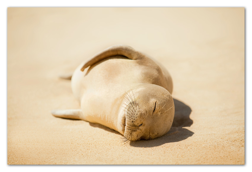 Endangered Hawaiian Monk Seal resting on beach Poipu Beach Kauai Hawaii