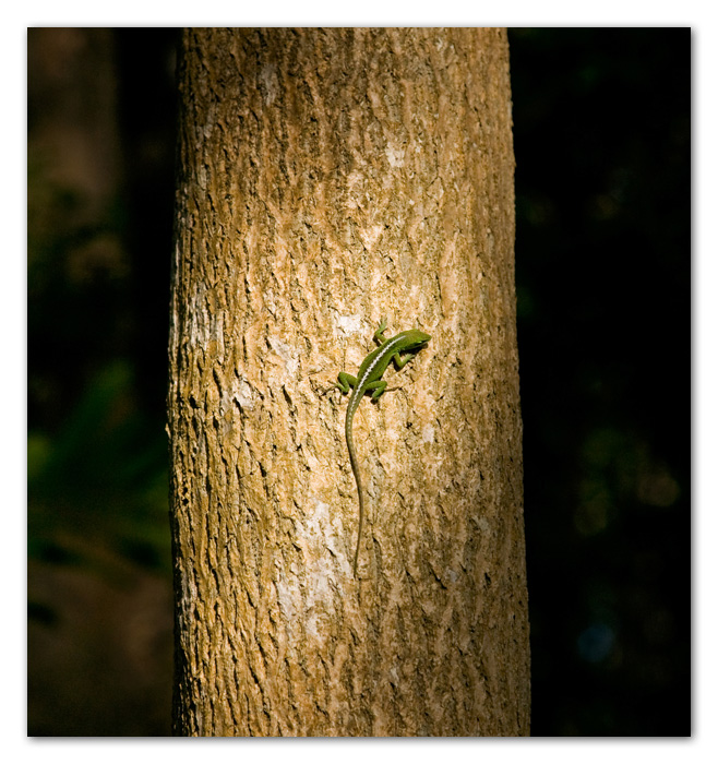 Gekko on tree Kapaa Kauai Hawaii